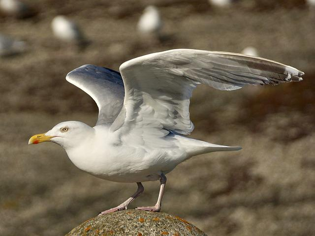 Gull, Departure, Start, Fly, Take Off, Bird, Wing
