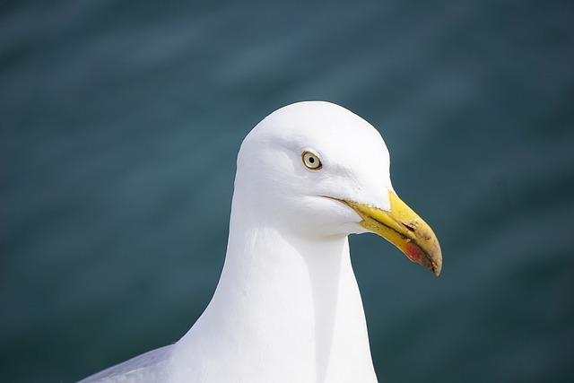 Gull, Bird, Fauna, Sea bird, Animal, Sea, Nature