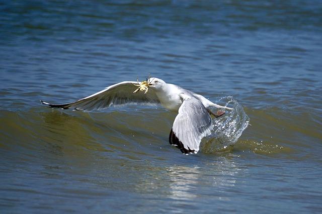 Gull, Fang, Food, Prey, Flying, Cancer, Water, Beach