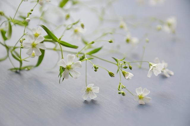 Flowers, Gypsophila, Plant, White Flowers