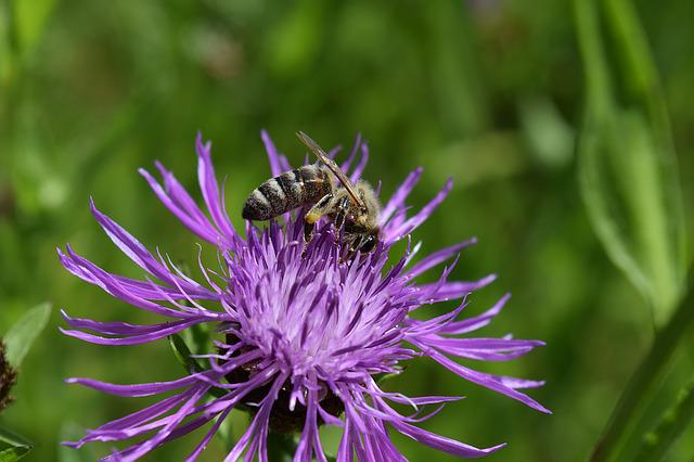 Bee, Knapweed, Centaurea Jacea, Had Knapweed, Collect