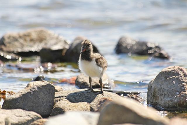 Bird, Chick, Cub, Small, Haematopus Ostralegus