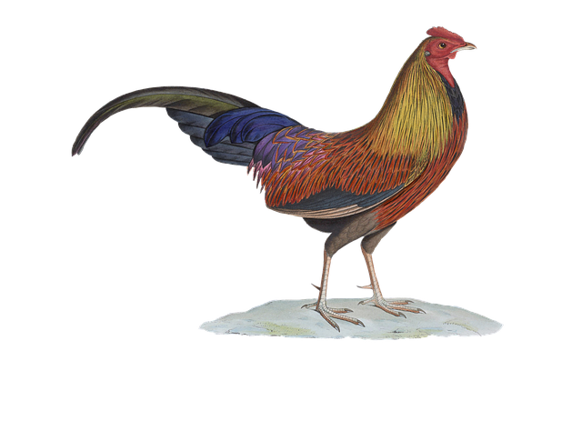 Hahn, Poultry, Gockel, Bird, Isolated, Vintage, Png