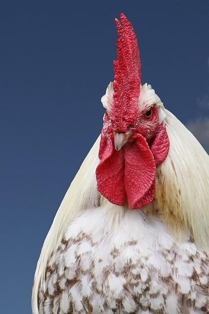 Hahn, Gockel, Poultry, Male Fowl
