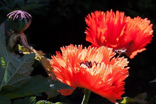 Ornamental Poppies, Half Rosette Plant, Flower, Nature