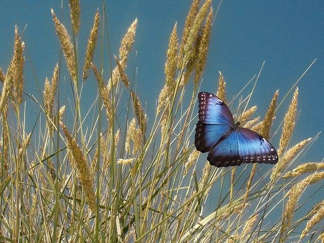 Grain, Halme, Cereals, Butterfly, Cornfield, Summer