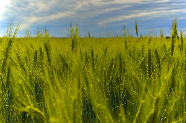 Rye, Rye Field, Cereals, Cornfield, Spike, Halme