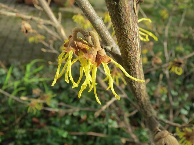 Hamamelis Virginiana, Common Witch-hazel