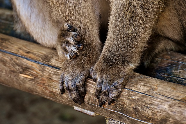 Barbary Ape, Hands, Feet, Endangered Species