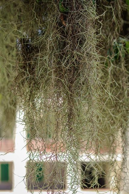 Spanish Moss, Hanging Moss, Draping Moss, Epiphyte