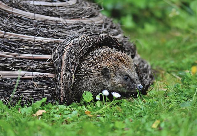 Hedgehog, Spur, Hannah, Foraging, Nocturnal, Cute