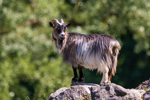 Goat, Horns, Animal, Mammals, Billy Goat, Happy