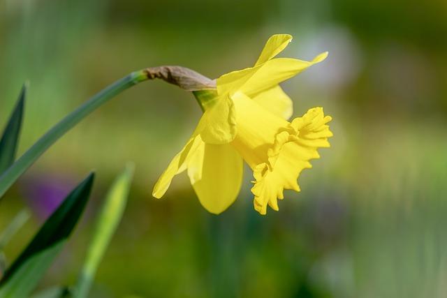 Narcissus, Spring Flower, Harbinger Of Spring, Daffodil