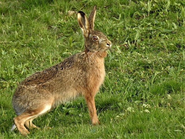 Hare, Lepus Europaeus