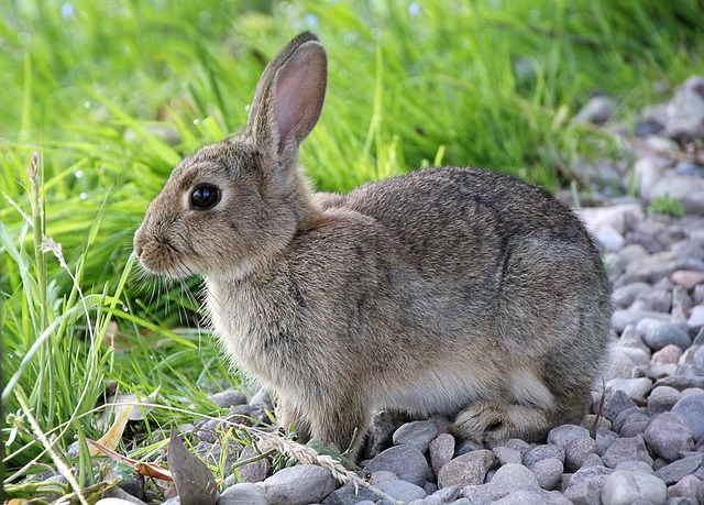 Hare, Rabbit, Animal, Cute, Sweet, Fur, Dwarf Rabbit