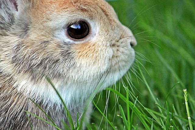 Dwarf Rabbit, Rabbit, Easter, Hare, Long Eared