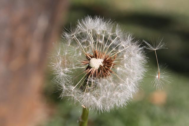 Dandelion, White, Plant, Summer, Green, Fresh, Harmony