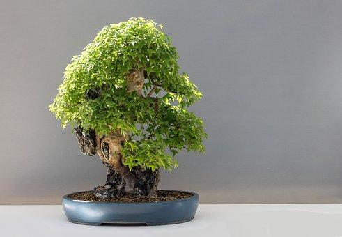 Bonsai, Maple Bonsai, Háromerű Maple, Acer Buergerianum