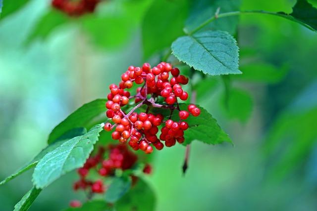Grape-elder, Hart-elder, Red Elderberry