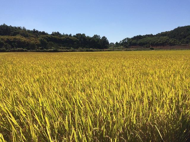 Autumn, Ch, Harvest, Golden, Farming, Rice, Plants