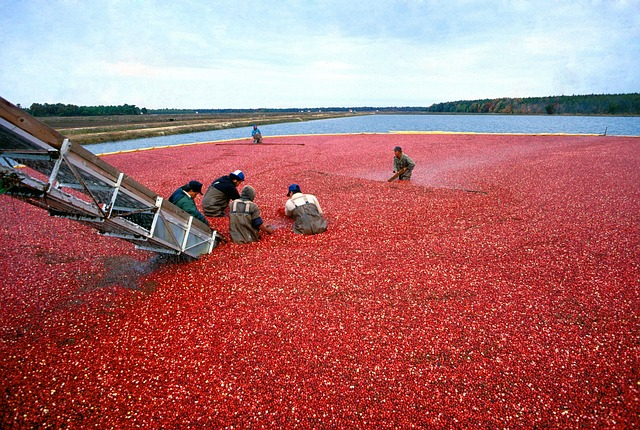 Cranberry, Harvest, Red, Organic, Food, Berry, Fruit