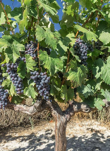 Grapes, Vine, Parra, Vineyard, Harvest, Cultivation