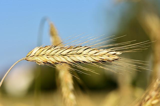 Wheat, Barley, Cereals, Field, Grain, Harvest