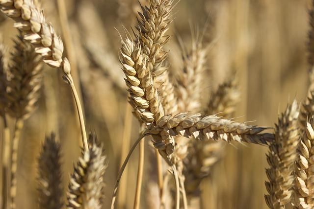 Wheat, Grain, Field, Finnish, Harvest, Countryside