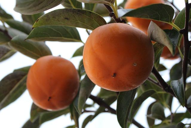 Persimmon, Fruit, Dried Persimmon, Autumn, Harvest