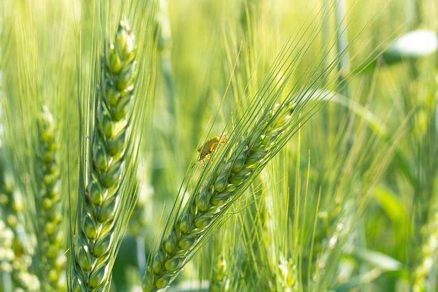 Rye, Wheat, Cereals, Parasite, Green, Farm, Harvest