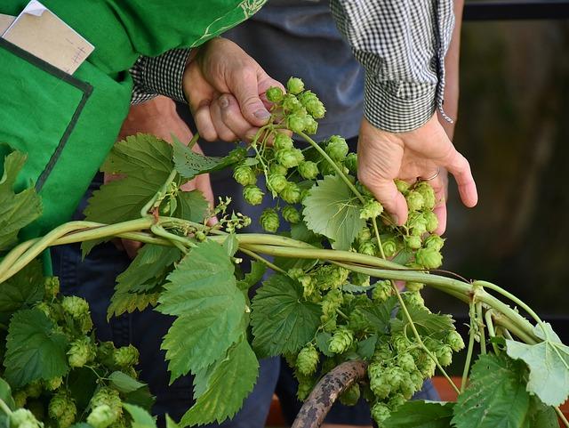 Hop Vines, Hops, Hops Plucking, Pick, Hands, Harvest