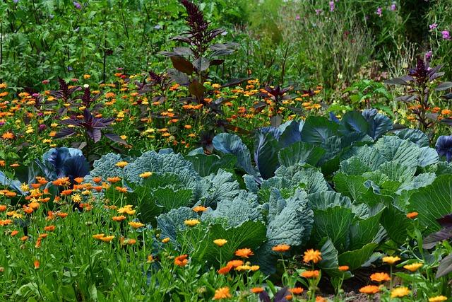 White Cabbage, Garden, Vegetable Growing, Harvest, Herb