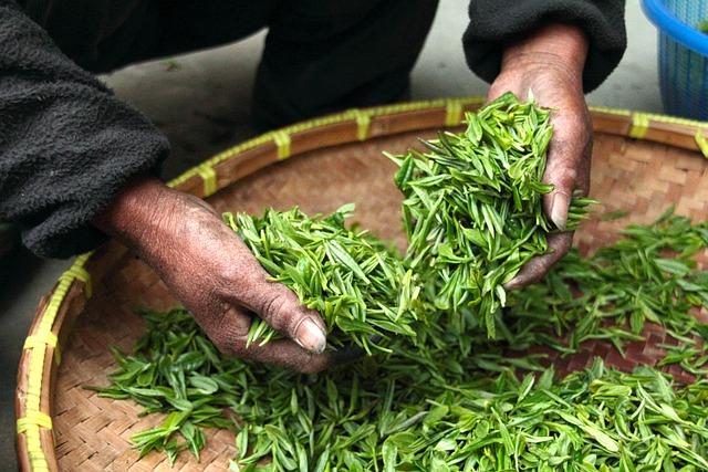 Tea, Hand, Fresh, Green, Leaves, Drying, Harvesting