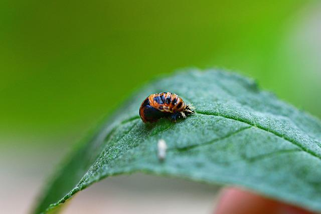 Ladybird Larvae, Hatched, Harlequin Ladybird Larvae