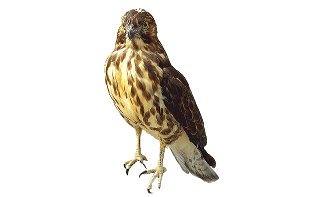 Hawk, Raptor, Bird Of Prey, Feather, Isolated