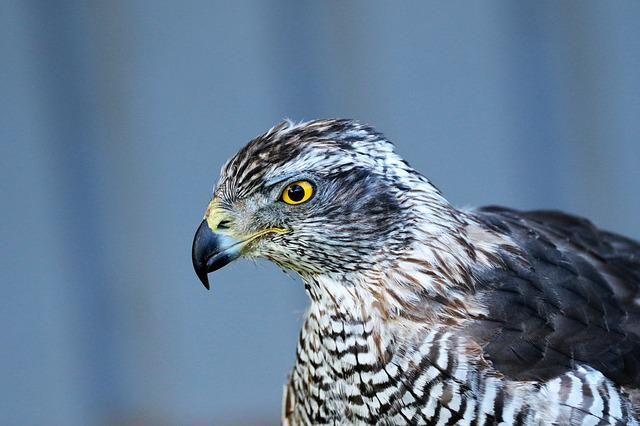 Goshawk, Hawk, Bird, Wildlife, Animal, Wild, Raptor