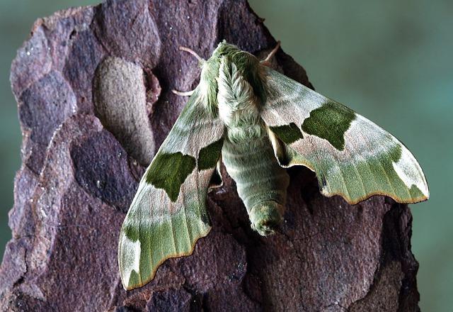Moth, Hawkmoth, Wildlife, Sphingidae, Wings, Hawk-moths