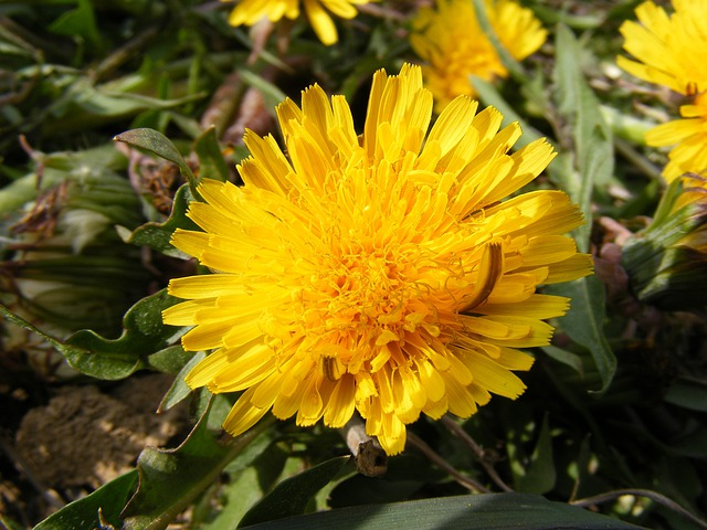 Nature, Flowers, Gardens, Hawkbit, Taraxacum