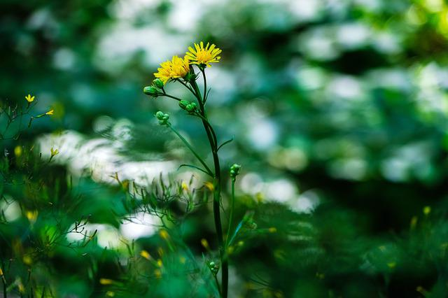 Pointed Flower, Hawksbeard, Yellow, Nature, Forest