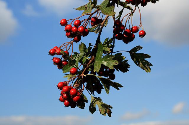 Hawthorn, Berries, Red, Berry Red, Fruits, Sky, Bush
