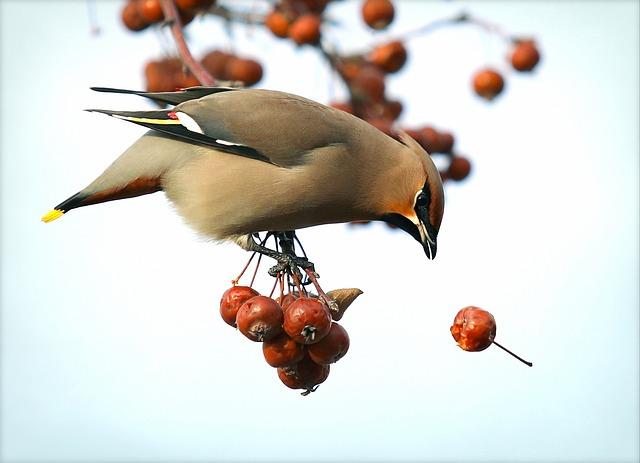 Bohemian Waxwing, Hawthorn, Bird, Spring, Sparrow, Tree