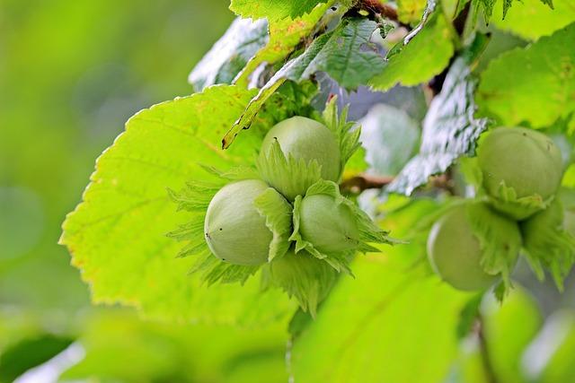 Hazelnuts, Common Hazel, Corylus Avellana, Hazel