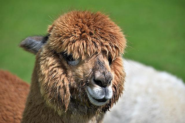 Animal Portrait, Alpaca, Brown, Head, Kamelart