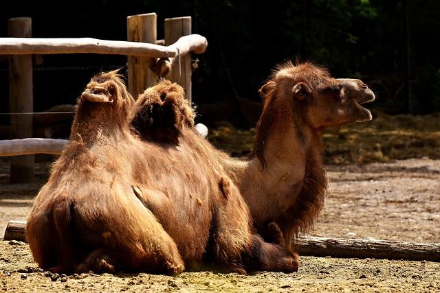Camel, Zoo, Animal, Nature, Mammal, Hump, Head