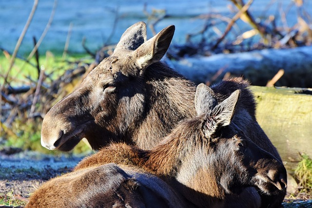 Moose, Head, Wild Animal, Enclosure, Animal Portrait