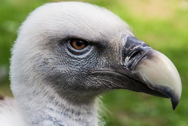 Vulture, Bird, Head, Bird Of Prey, Animal World, Raptor