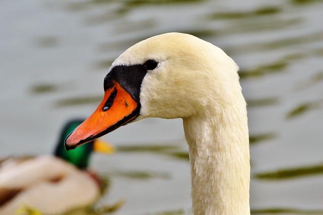 Swan, Swan Head, Water Bird, Bird, Bill, Head, White