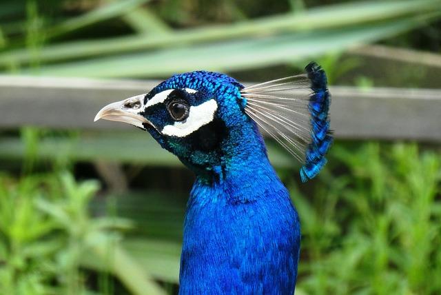 Peacock, Head, Beak, Eyes, Feathers, Animal Park, Crown