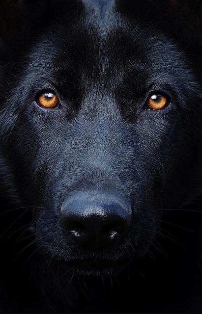 Black German Shepherd, Eyes, Dog, Head, Portrait