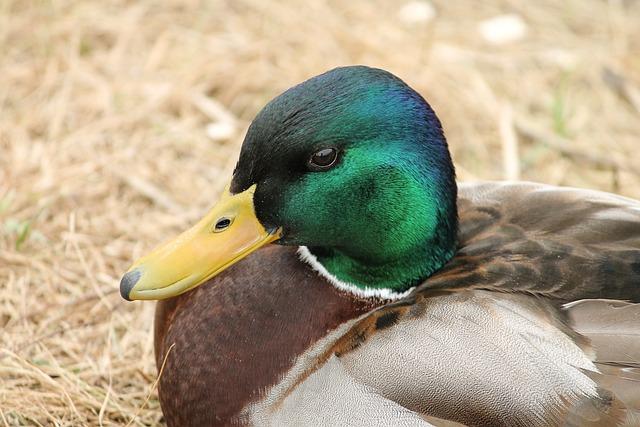 Duck, Drake, Mallard, Portrait, Animal Portrait, Head